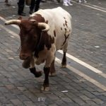 steer in pamplona