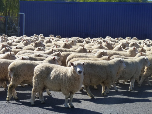 The Running of the Bulls in NewZealand